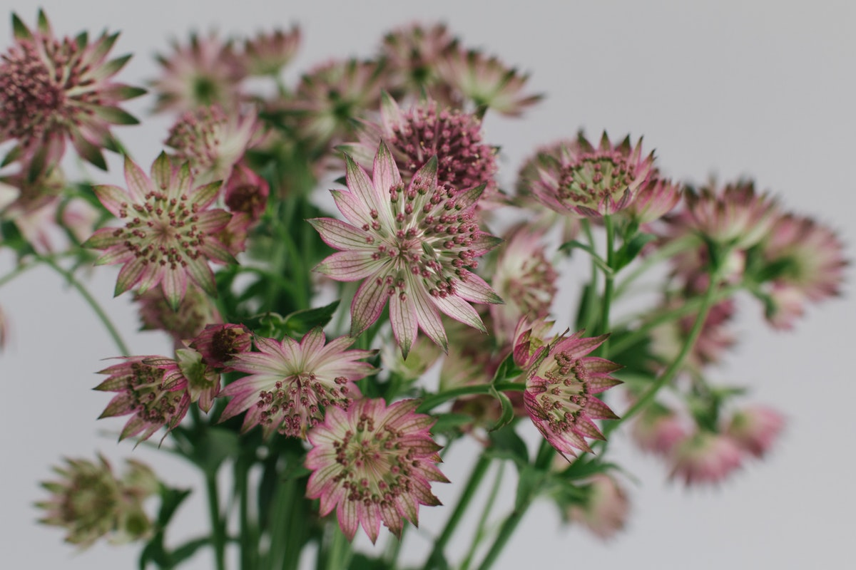 New Covent Garden Flower Market April 2018 A Florists Guide To British Astrantia Rona Wheeldon Flowerona 2