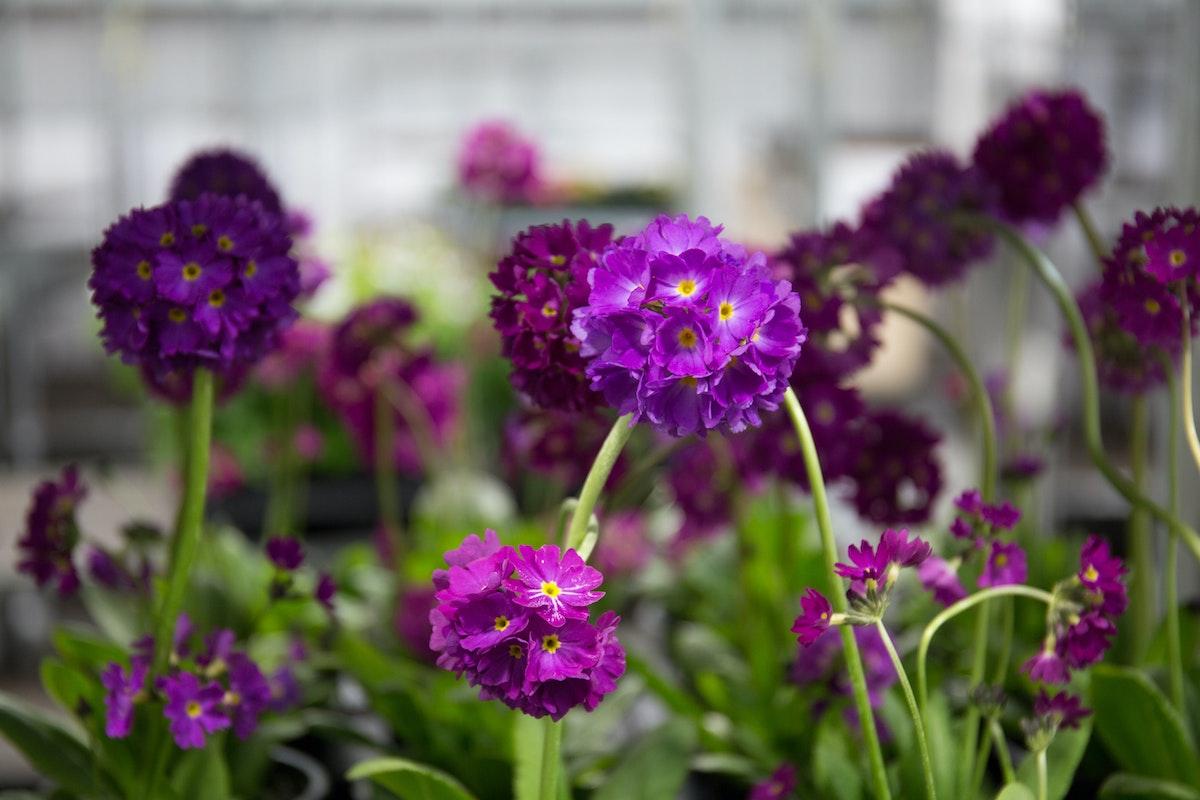 New Covent Garden Flower Market April 2018 In Season Report Rona Wheeldon Flowerona British Primula Denticulata Deep Rose Plants At L Mills
