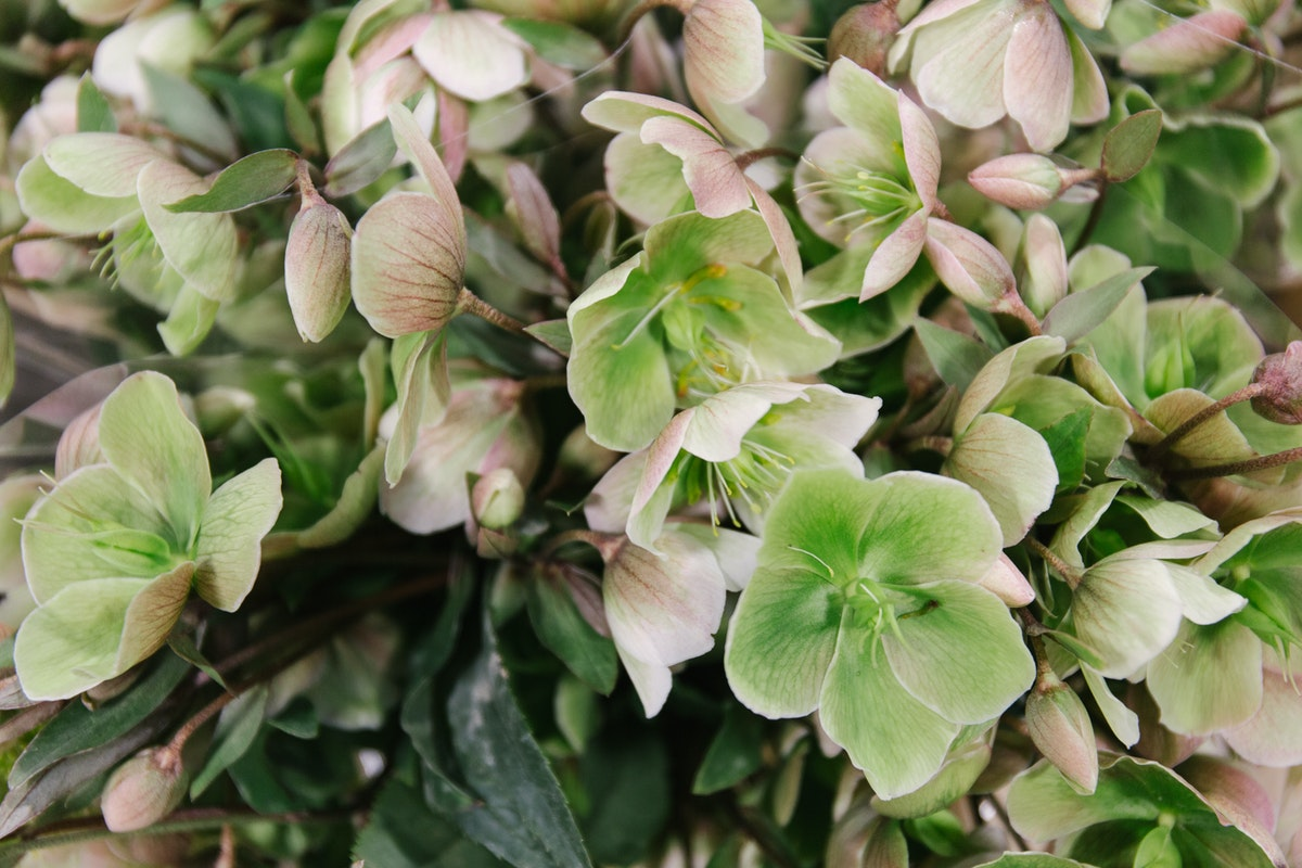 New Covent Garden Flower Market April 2018 In Season Report Rona Wheeldon Flowerona Helleborus Magnificent Bells At Bloomfield