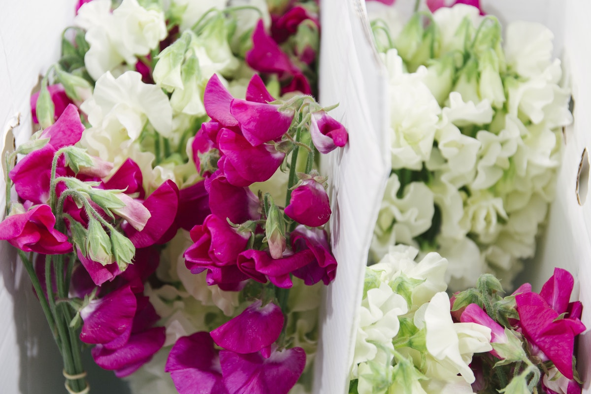 New Covent Garden Flower Market April 2019 In Season Report Rona Wheeldon Flowerona Wheeldon Flowerona British Sweet Peas At Zest Flowers