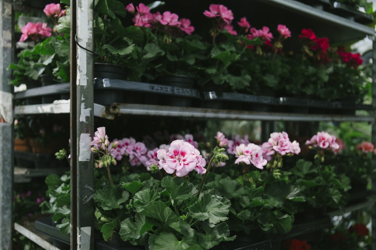 New Covent Garden Flower Market April 2019 In Season Report Rona Wheeldon Flowerona Wheeldon Flowerona British Zonal Geranium Plants At Arnott Mason