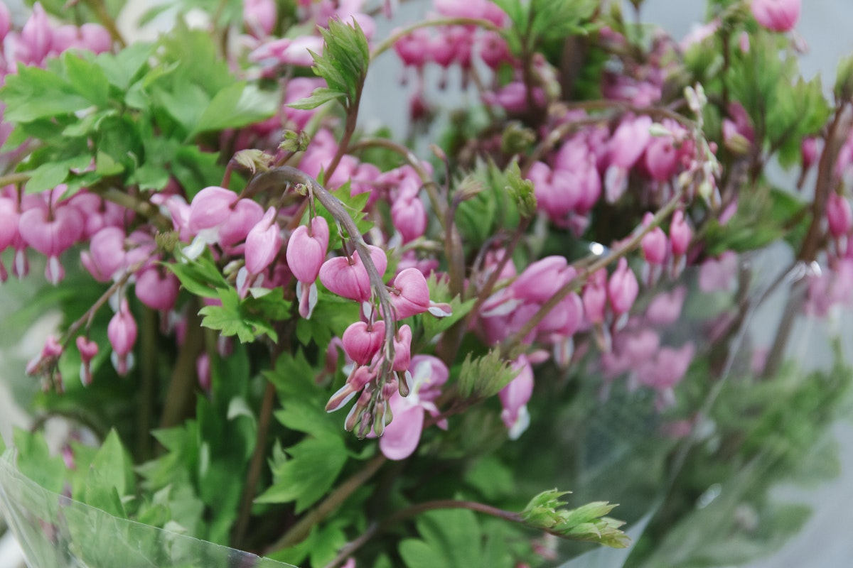 New Covent Garden Flower Market April 2019 In Season Report Rona Wheeldon Flowerona Wheeldon Flowerona Dicentra Spectablilis At Bloomfield
