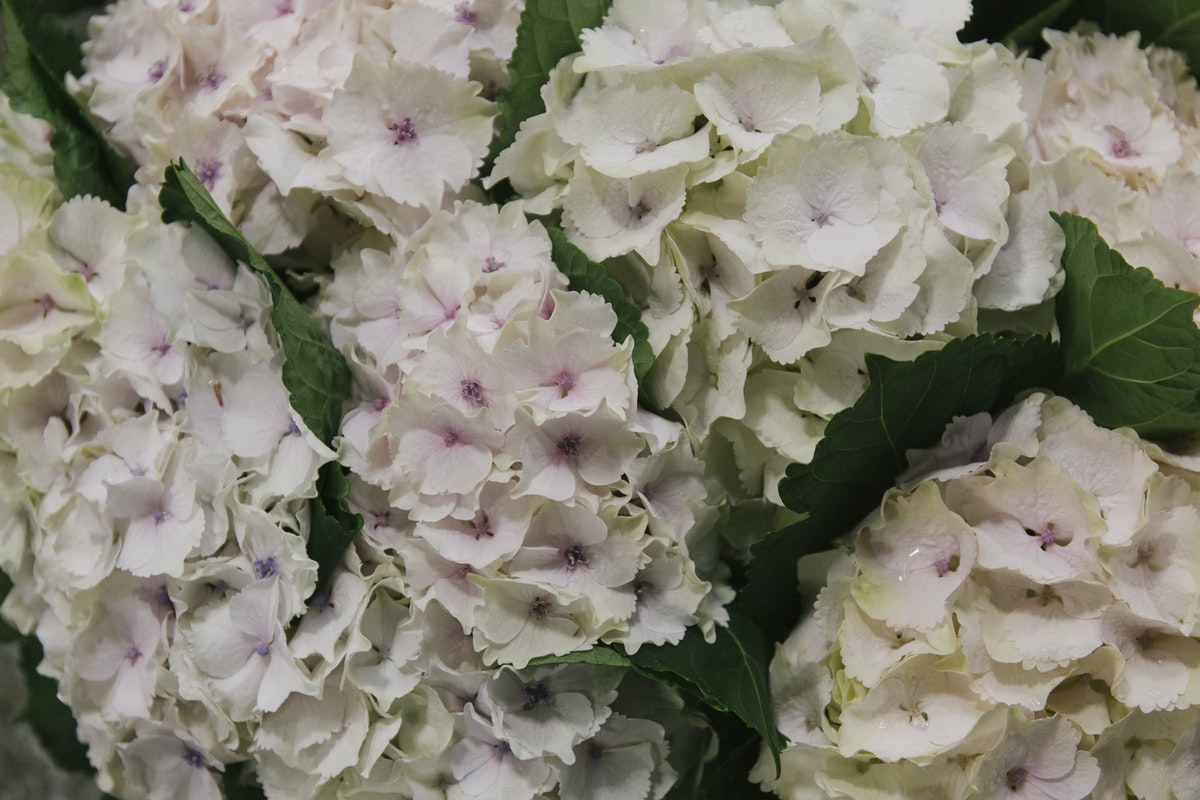 New Covent Garden Flower Market April 2019 In Season Report Rona Wheeldon Flowerona Wheeldon Flowerona Hydrangea Magical Emerald At Bloomfield
