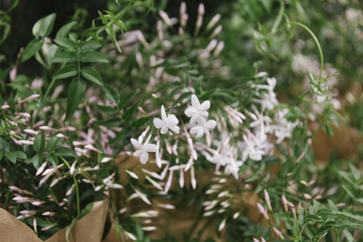 New Covent Garden Flower Market April 2019 In Season Report Rona Wheeldon Flowerona Wheeldon Flowerona Jasminum Polyanthum Plants At Quality Plants