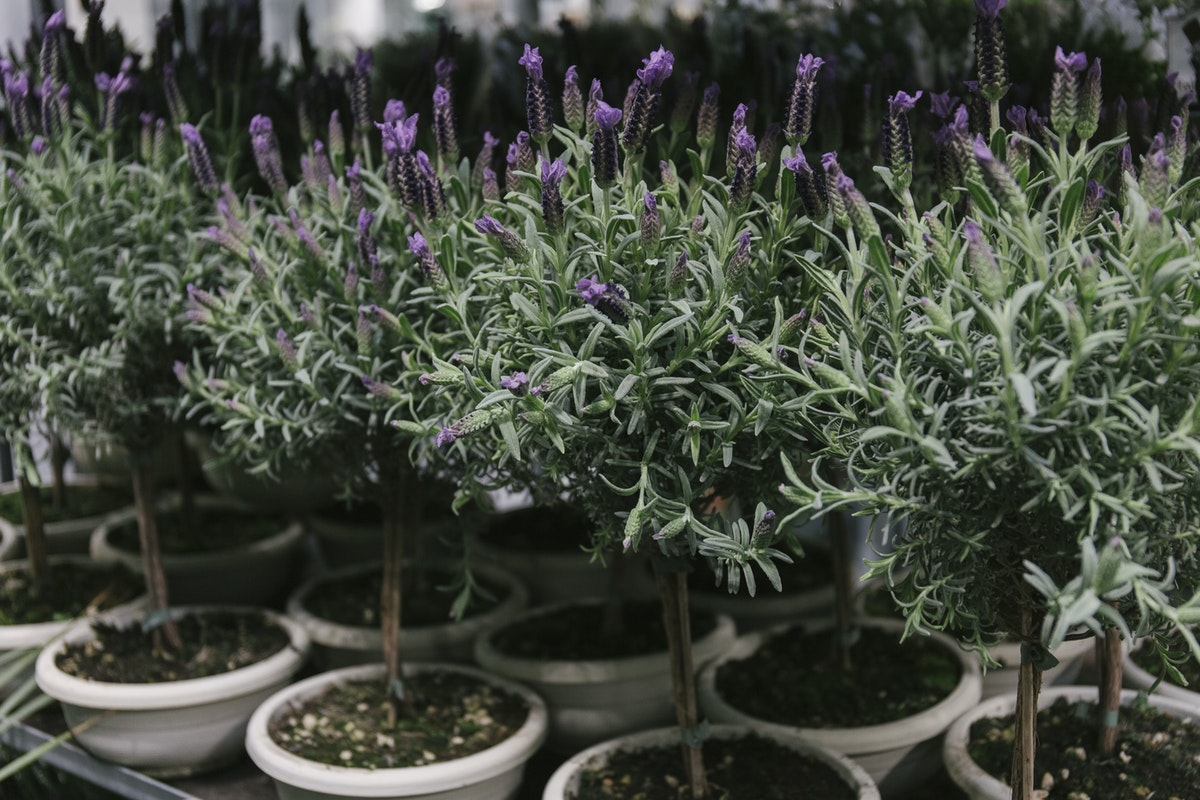 New Covent Garden Flower Market April 2019 In Season Report Rona Wheeldon Flowerona Wheeldon Flowerona Lavandula Stoechas Topiar Plants At Quality Plants