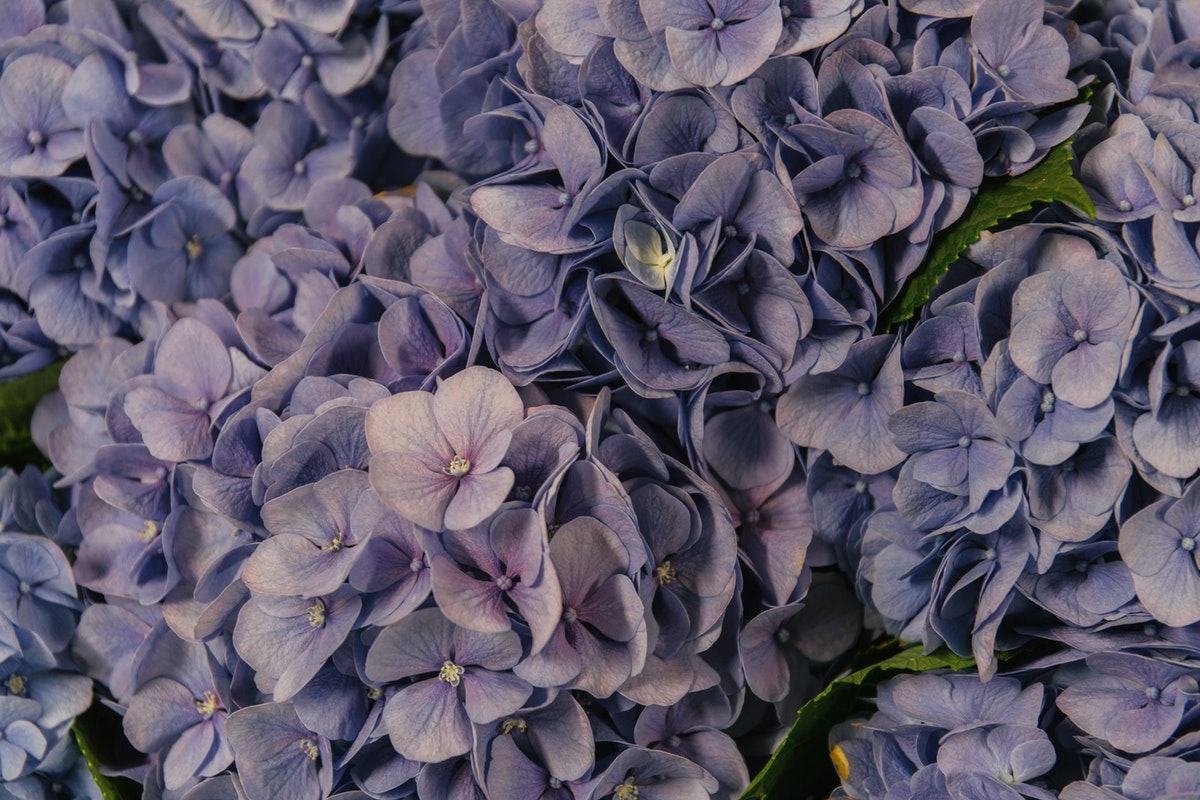 New Covent Garden Flower Market August 2018 In Season Report Rona Wheeldon Flowerona Hydrangea Hilde Moorhof Blue At Dennis Edwards Flowers