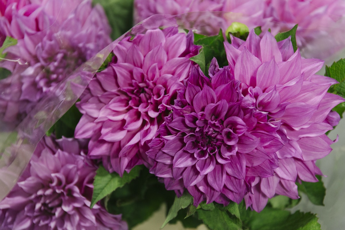 New Covent Garden Flower Market August 2019 A Florists Guide To Dahlias Rona Wheeldon Flowerona Dahlia Cafe Au Lait Rose At Zest Flowers
