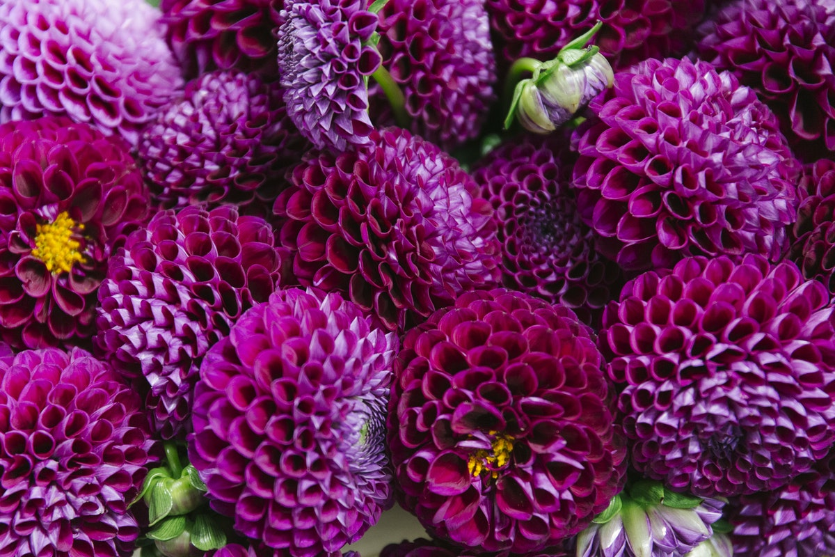 New Covent Garden Flower Market August 2019 A Florists Guide To Dahlias Rona Wheeldon Flowerona Dahlia Downham Royal At Bloomfield