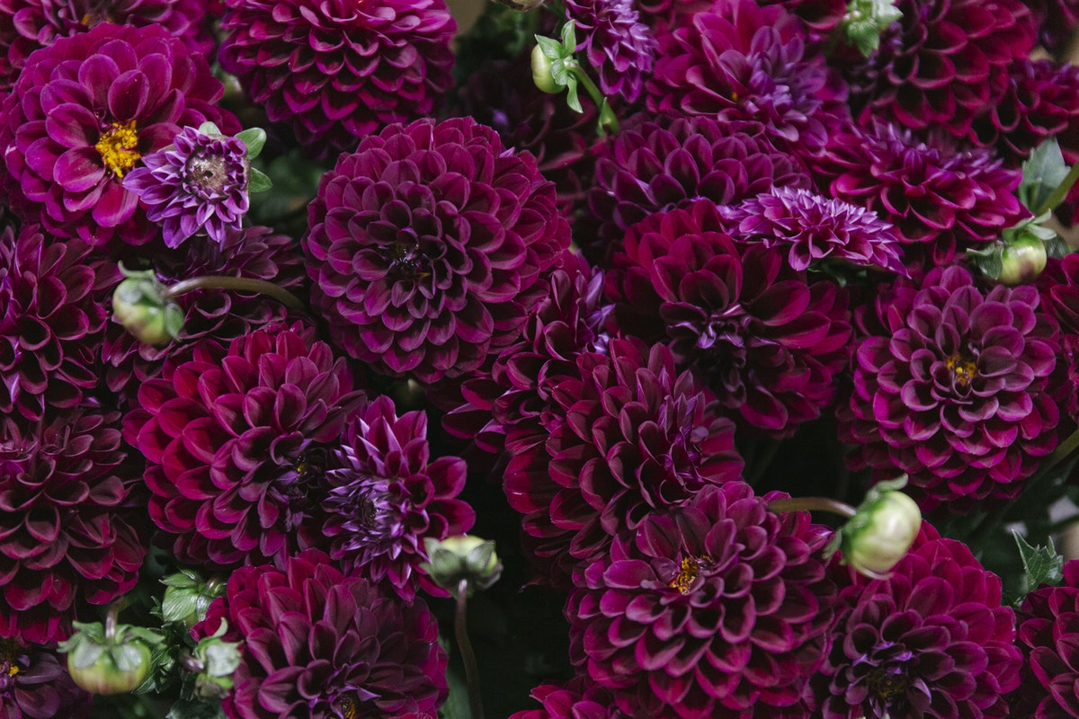 New Covent Garden Flower Market August 2019 A Florists Guide To Dahlias Rona Wheeldon Flowerona Dahlia Happy Jill At Bloomfield
