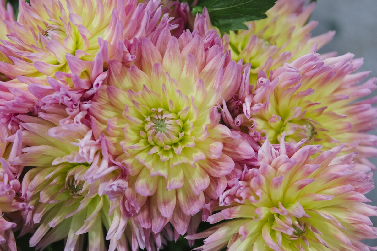 New Covent Garden Flower Market August 2019 A Florists Guide To Dahlias Rona Wheeldon Flowerona Dahlia Karma Sangria At Bloomfield