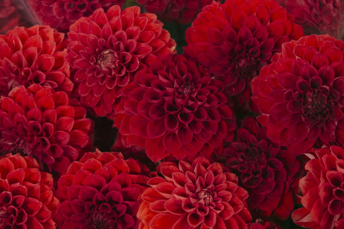 New Covent Garden Flower Market August 2019 A Florists Guide To Dahlias Rona Wheeldon Flowerona Dahlia Red Cap At Dennis Edwards Flowers