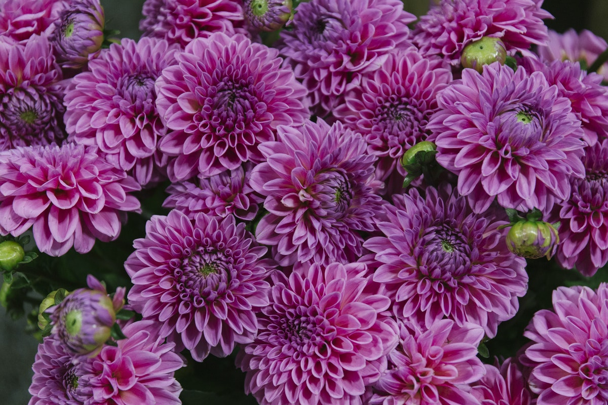 New Covent Garden Flower Market August 2019 A Florists Guide To Dahlias Rona Wheeldon Flowerona Dahlia Sandra At Bloomfield