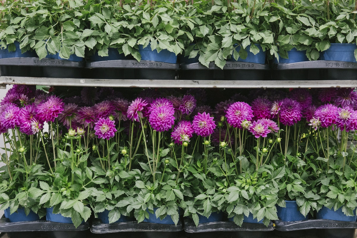 New Covent Garden Flower Market August 2019 A Florists Guide To Dahlias Rona Wheeldon Flowerona Pots Of British Dahlia Plants At L Mills