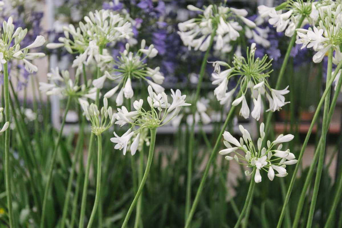 New Covent Garden Flower Market August 2019 In Season Report Rona Wheeldon Flowerona Agapanthus Plants At Evergreen