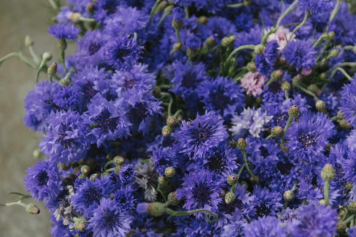 New Covent Garden Flower Market August 2019 In Season Report Rona Wheeldon Flowerona British Blue Cornflowers At Pratley