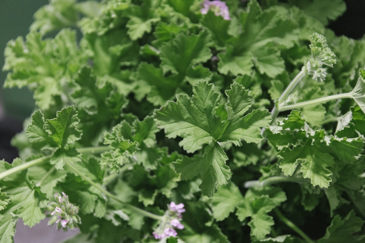 New Covent Garden Flower Market August 2019 In Season Report Rona Wheeldon Flowerona British Lemon Scented Geranium Foliage At Porters Foliage