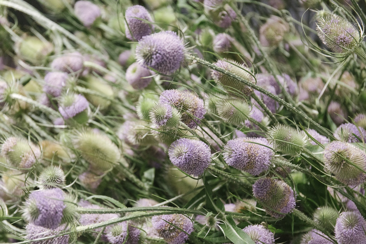 New Covent Garden Flower Market August 2019 In Season Report Rona Wheeldon Flowerona British Teasels At Gb Foliage