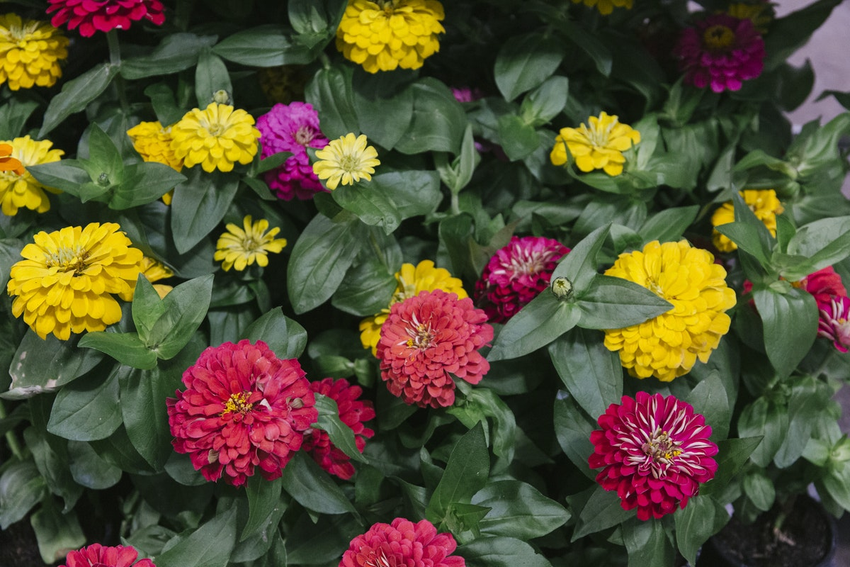 New Covent Garden Flower Market August 2019 In Season Report Rona Wheeldon Flowerona British Zinnia Plants At L Mills