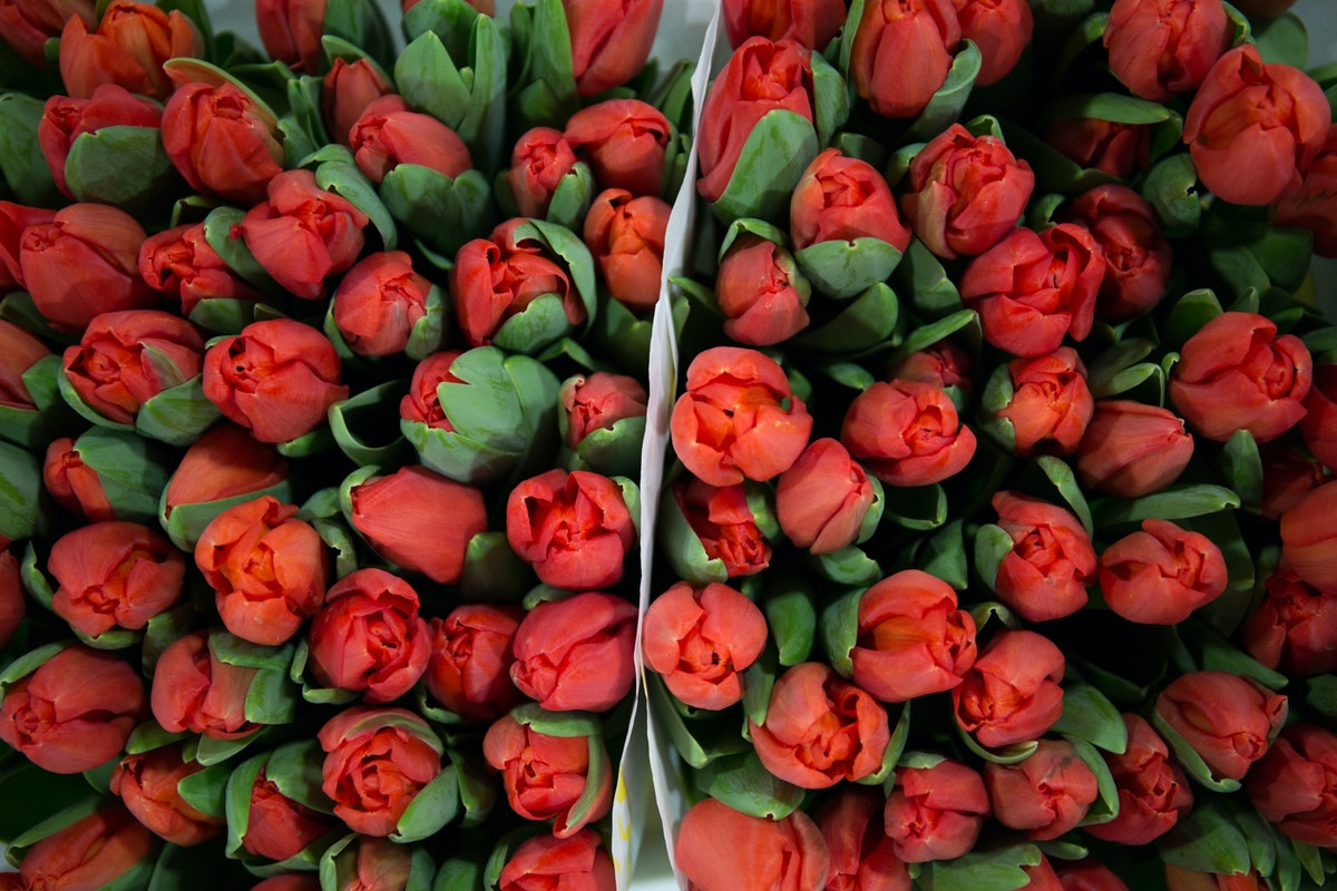 New Covent Garden Flower Market February 2018 A Florists Guide To Tulips Rona Wheeldon Flowerona Red Tulip Escape At Zest Flowers