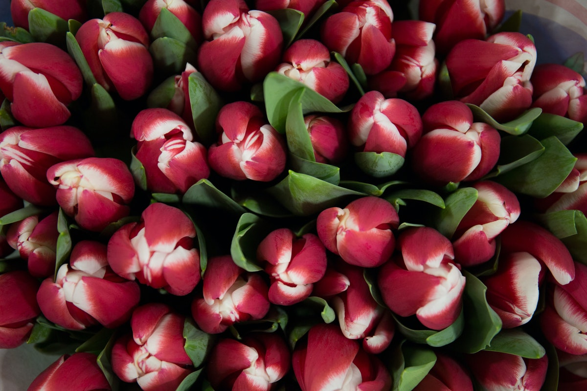 New Covent Garden Flower Market February 2018 A Florists Guide To Tulips Rona Wheeldon Flowerona Red White Tulip Furand At J H Hart Flowers