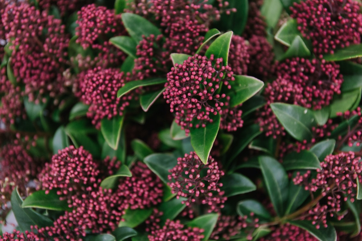 New Covent Garden Flower Market February 2018 In Season Report Rona Wheeldon Flowerona Skimmia Japonica Rubella At Bloomfield