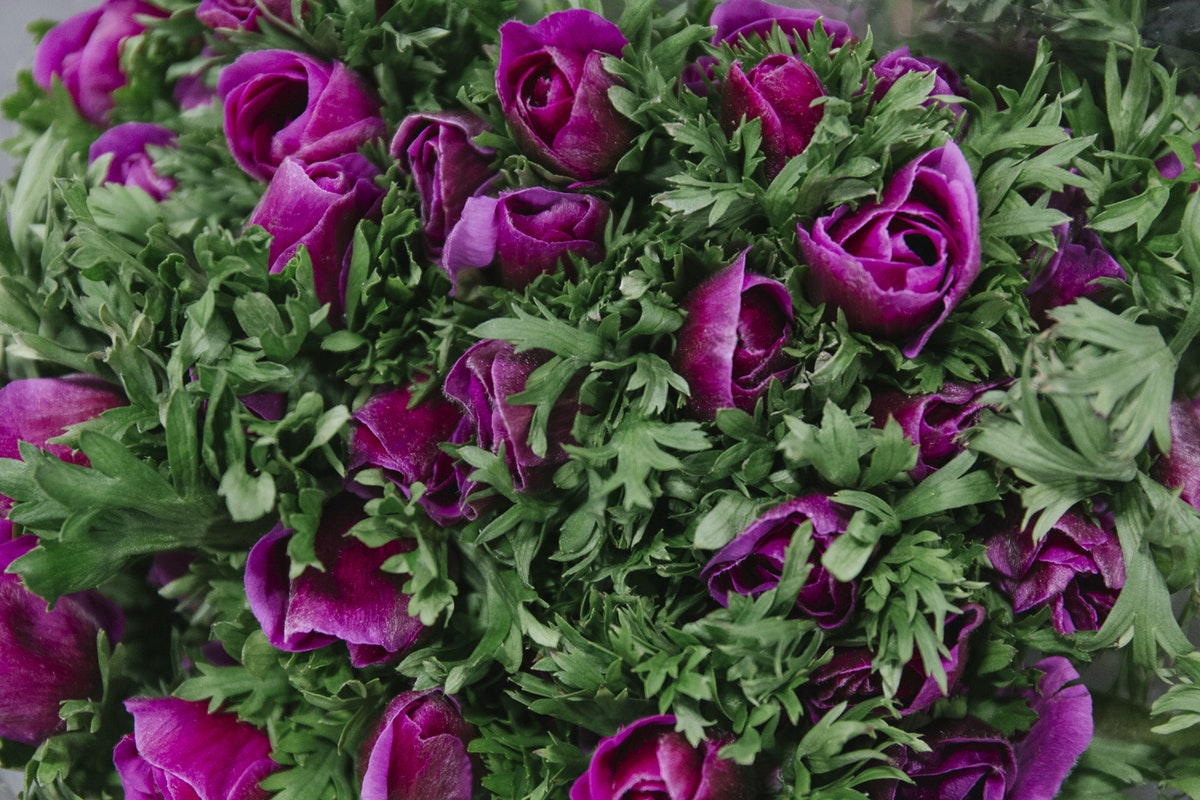 New Covent Garden Flower Market February 2019 A Florists Guide To Anemones Rona Wheeldon Flowerona Mistral Plus Cerise Pink Anemones At Bloomfield Sometimes Referred To As Lilac