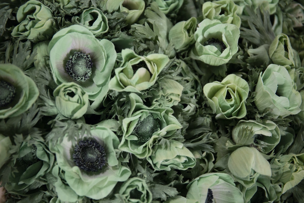 New Covent Garden Flower Market February 2019 A Florists Guide To Anemones Rona Wheeldon Flowerona Powder Green Anemones At Dennis Edwards Flowers