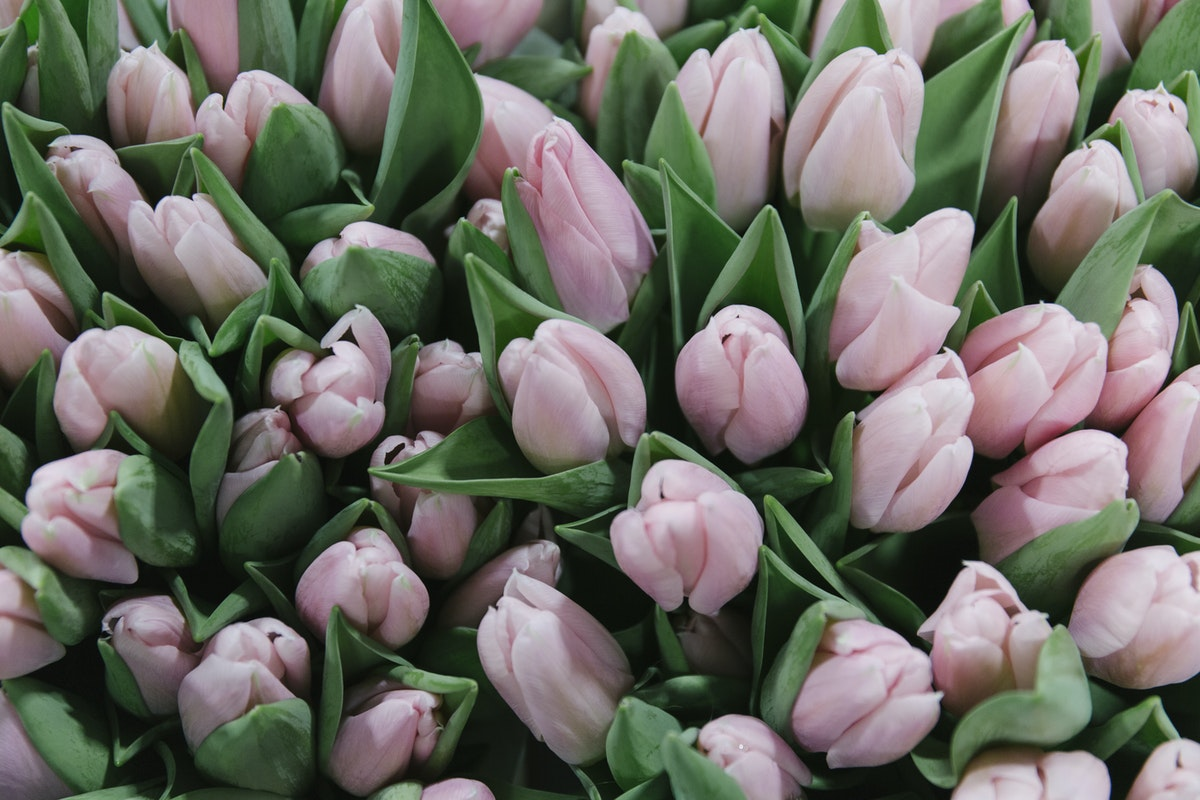 New Covent Garden Flower Market February 2019 In Season Report Rona Wheeldon Flowerona Algarve Tulip At Bloomfield
