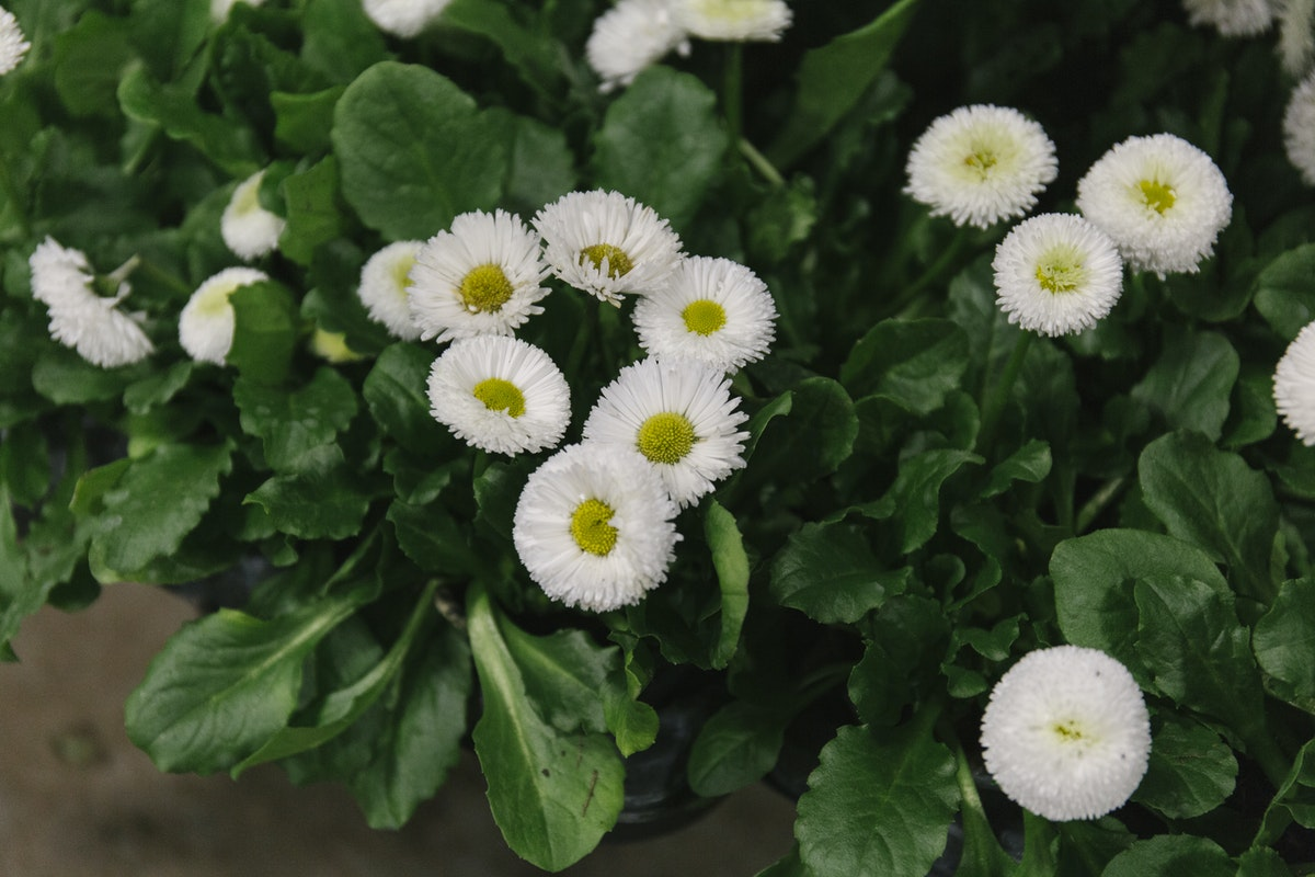 New Covent Garden Flower Market February 2019 In Season Report Rona Wheeldon Flowerona British Bellis Plants At L Mills