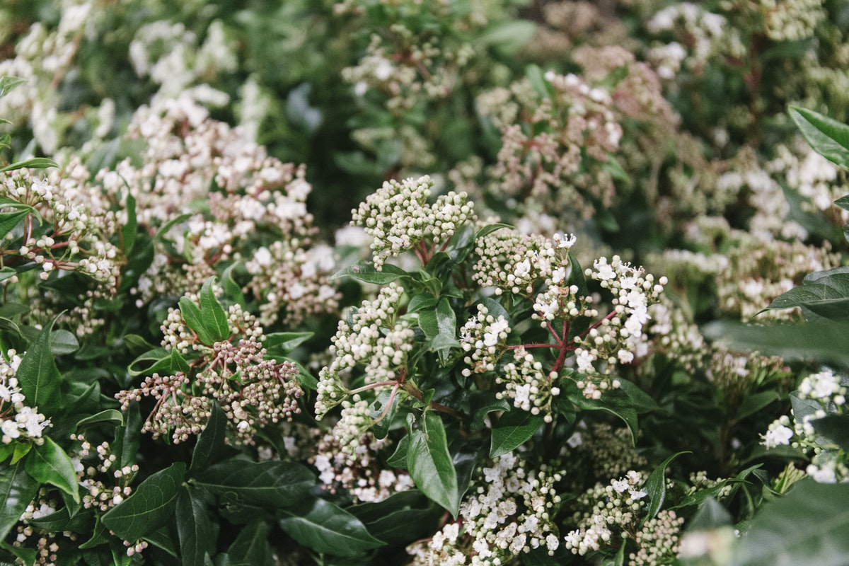 New Covent Garden Flower Market February 2019 In Season Report Rona Wheeldon Flowerona British Viburnum Tinus At Porters Foliage