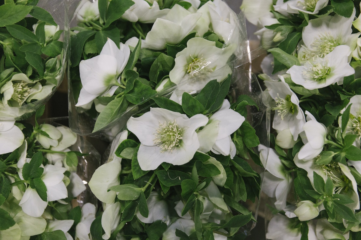 New Covent Garden Flower Market February 2019 In Season Report Rona Wheeldon Flowerona Helleborus Queens White At Zest Flowers