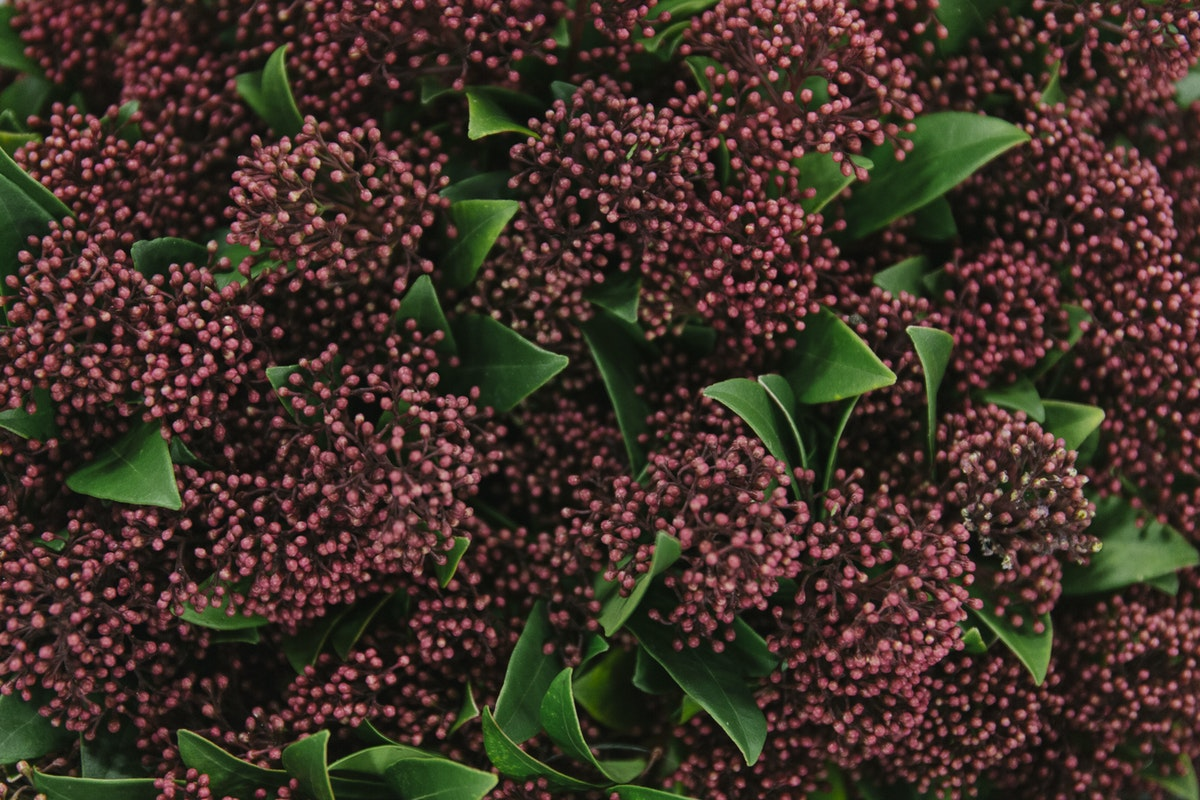 New Covent Garden Flower Market February 2019 In Season Report Rona Wheeldon Flowerona Skimmia Japonica Rubella At Dennis Edwards Flowers