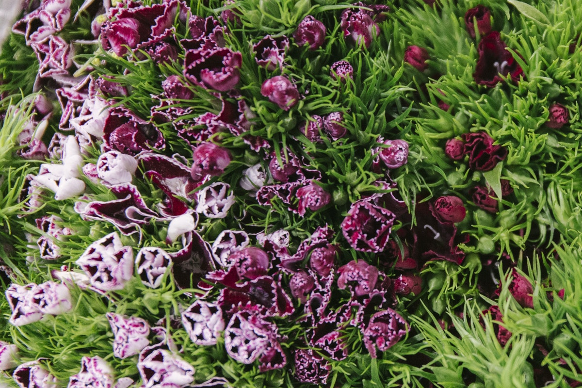 New Covent Garden Flower Market February 2020 A Florists Guide To The Language Of Flowers Rona Wheeldon Flowerona Sweet William At Zest Flowers