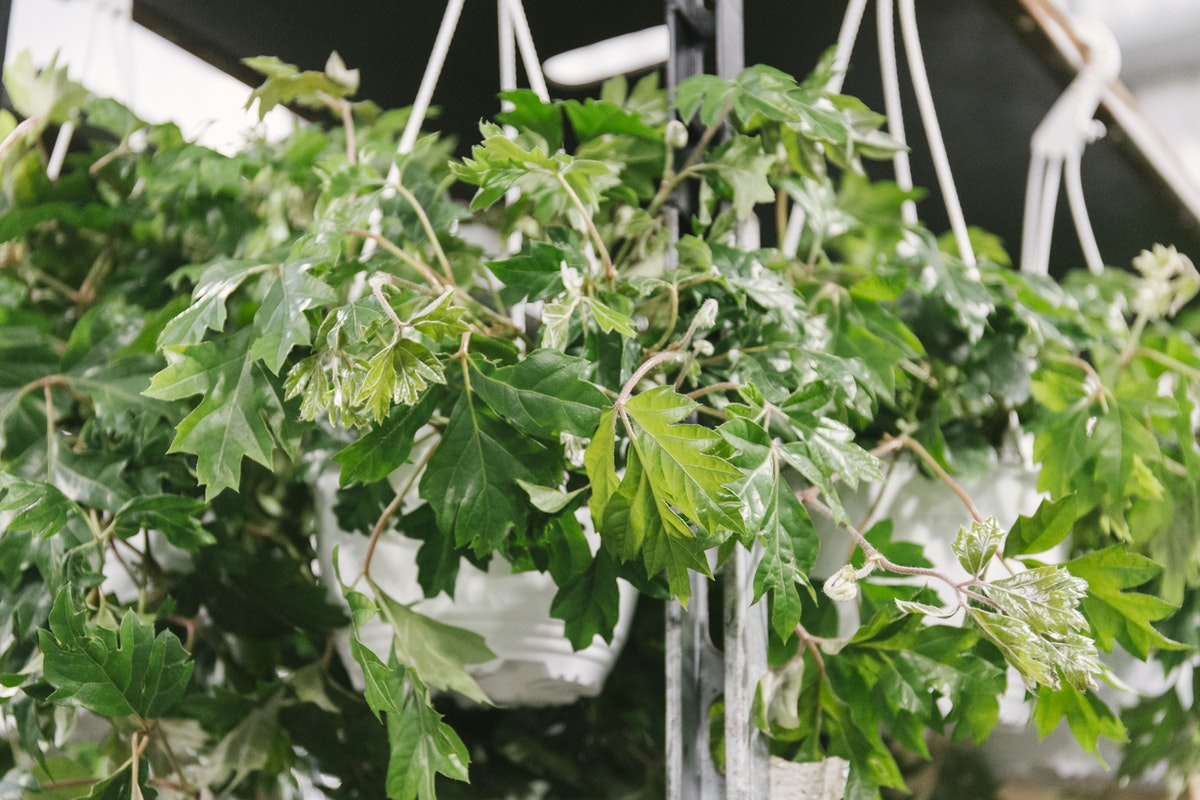 New Covent Garden Flower Market February 2020 In Season Report Rona Wheeldon Flowerona Cissus Ellen Danica At Arnott Mason