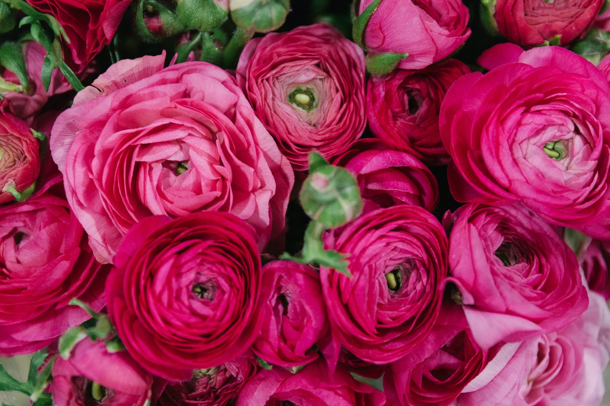 New Covent Garden Flower Market In Season Report November 2017 Rona Wheeldon Flowerona Hot Pink Extra Ranunculus At Bloomfield