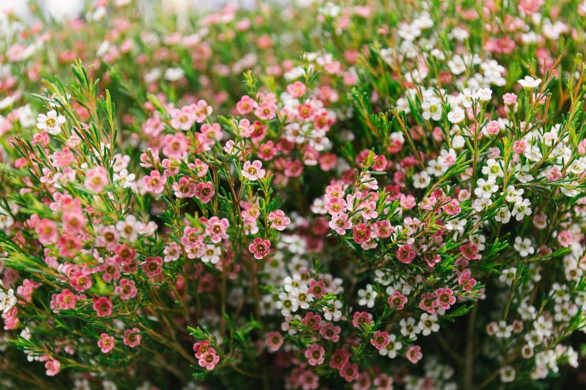 New Covent Garden Flower Market In Season Report November 2017 Rona Wheeldon Flowerona My Sweet 16 Waxflower At Bloomfield