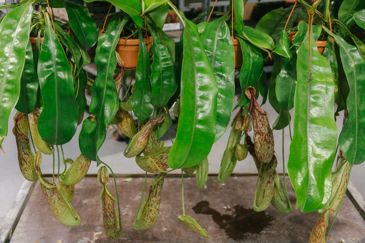 New Covent Garden Flower Market In Season Report November 2017 Rona Wheeldon Flowerona Nepenthes Pitcher Plants At Quality Plants