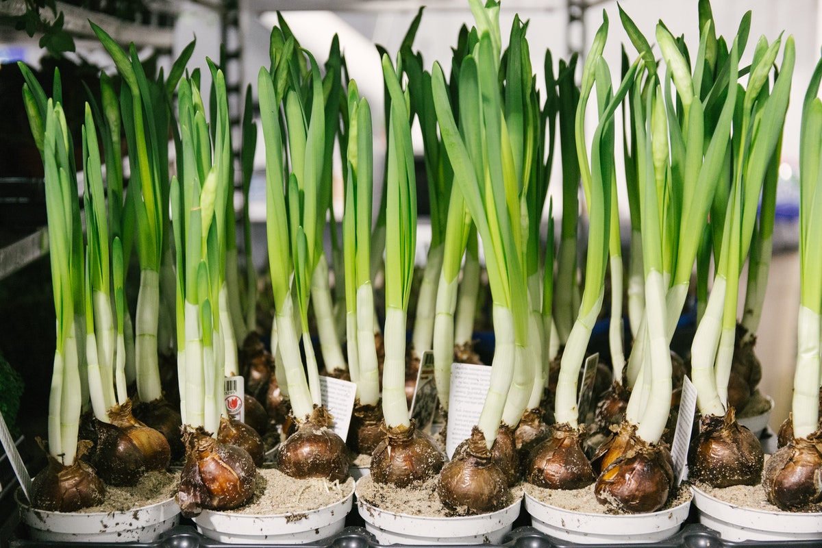 New Covent Garden Flower Market January 2018 In Season Report Rona Wheeldon Flowerona Narcissus Paperwhite Bulbs At Quality Plants