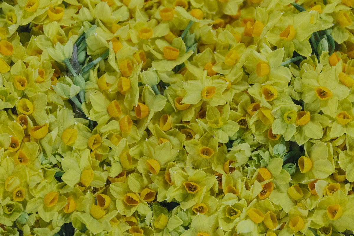 New Covent Garden Flower Market January 2019 In Season Report Rona Wheeldon Flowerona British Grand Soleil D Or Narcissi At Pratley Hero Image