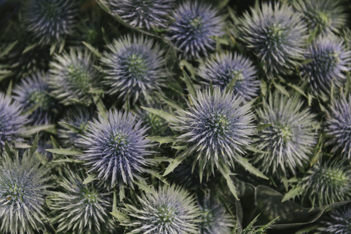 New Covent Garden Flower Market January 2019 In Season Report Rona Wheeldon Flowerona Eryngium Thistle Magnetar Questar At J H Hart Flowers