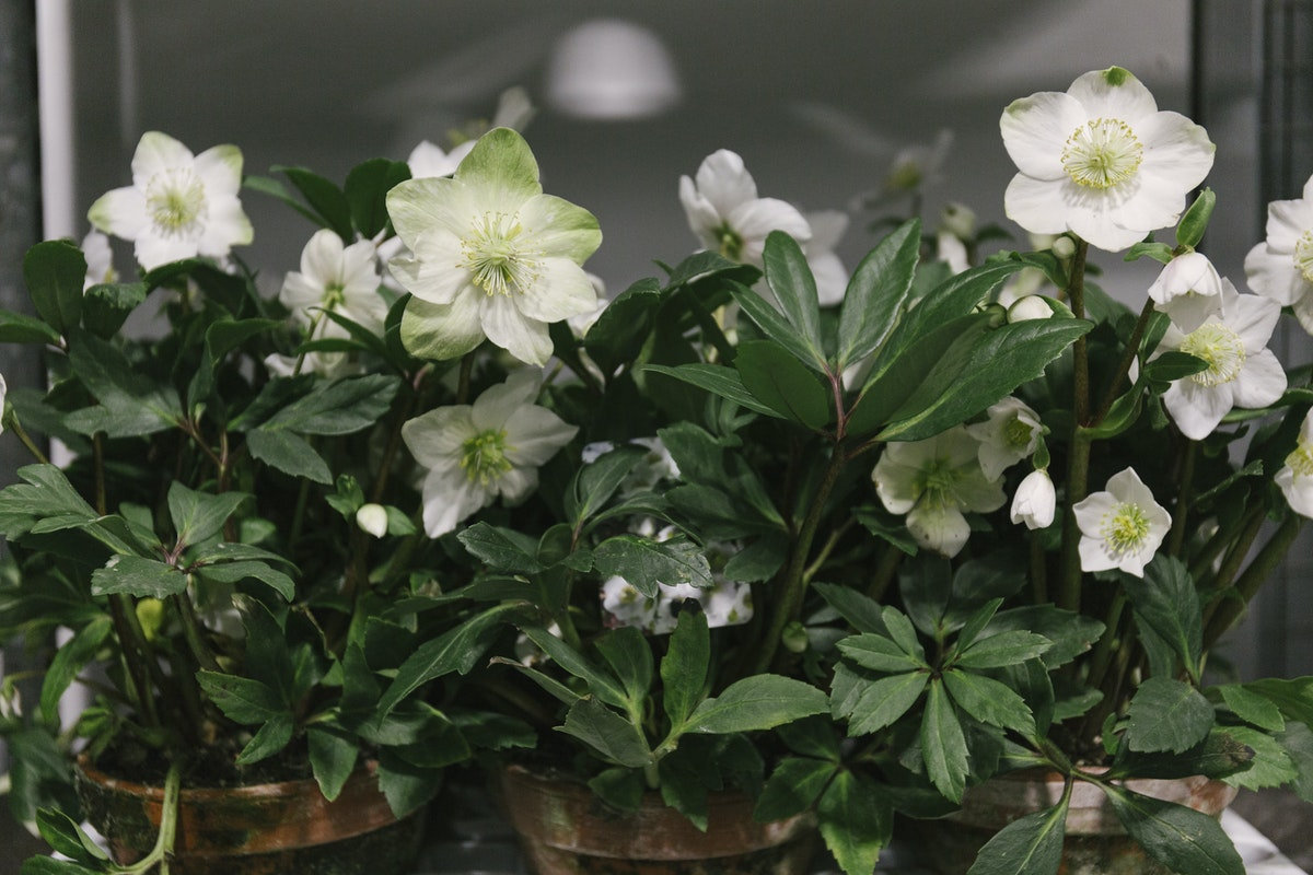 New Covent Garden Flower Market January 2019 In Season Report Rona Wheeldon Flowerona Helleborus Niger Christmas Rose Plants In Rustic Terracotta Pots