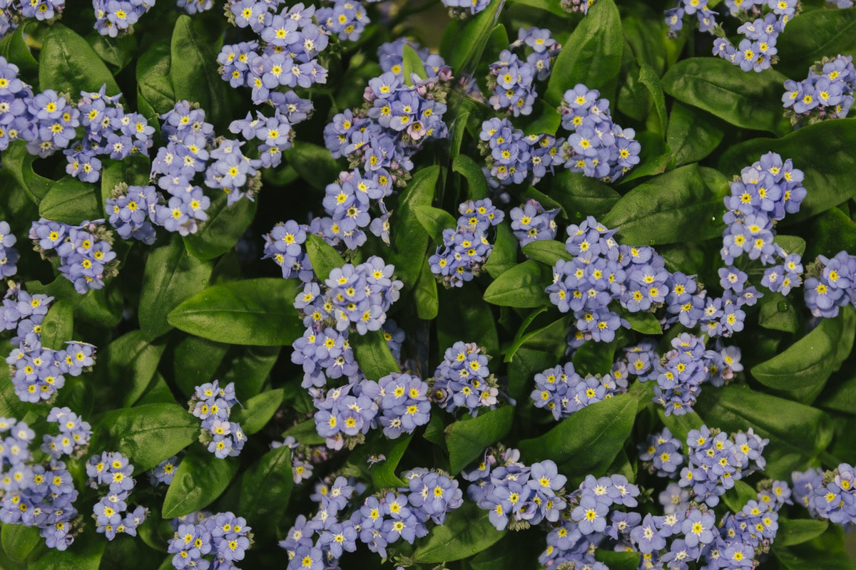New Covent Garden Flower Market January 2019 In Season Report Rona Wheeldon Flowerona Myosotis Forget Me Nots At Bloomfield