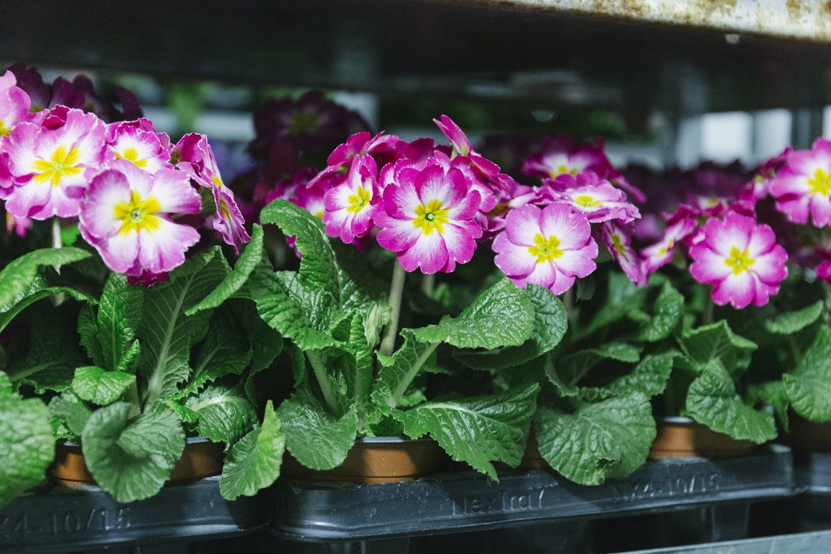 New Covent Garden Flower Market January 2019 In Season Report Rona Wheeldon Flowerona Polyanthus Plants At Evergreen Exterior Services