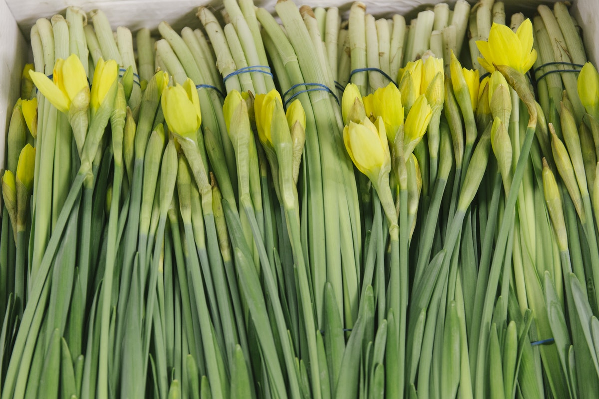 New Covent Garden Flower Market January 2020 In Season Report Rona Wheeldon Flowerona British Daffodils At Pratley