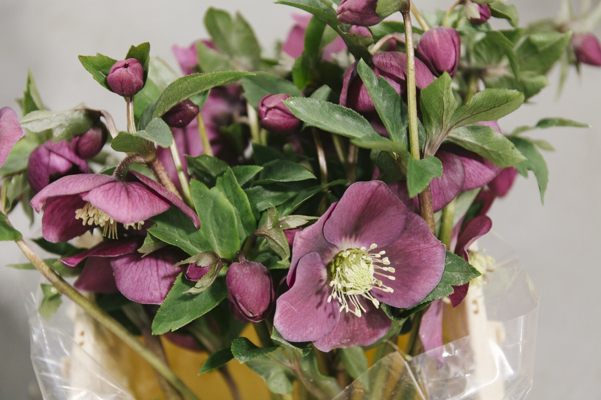 New Covent Garden Flower Market January 2020 In Season Report Rona Wheeldon Flowerona Helleborus Queens Red At Zest Flowers