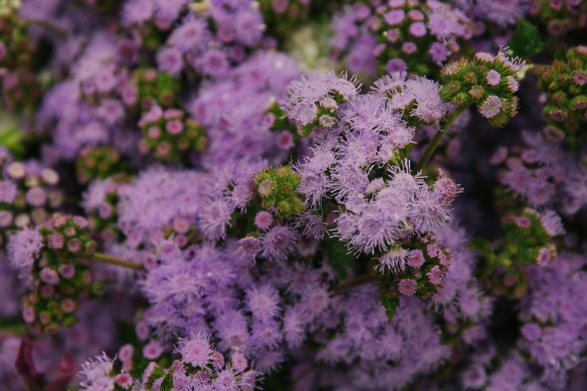 New Covent Garden Flower Market July 2018 A Florists Guide To Ultra Violet Pantone Colour Of The Year 2018 Rona Wheeldon Flowerona British Ageratum At Zest Flowers