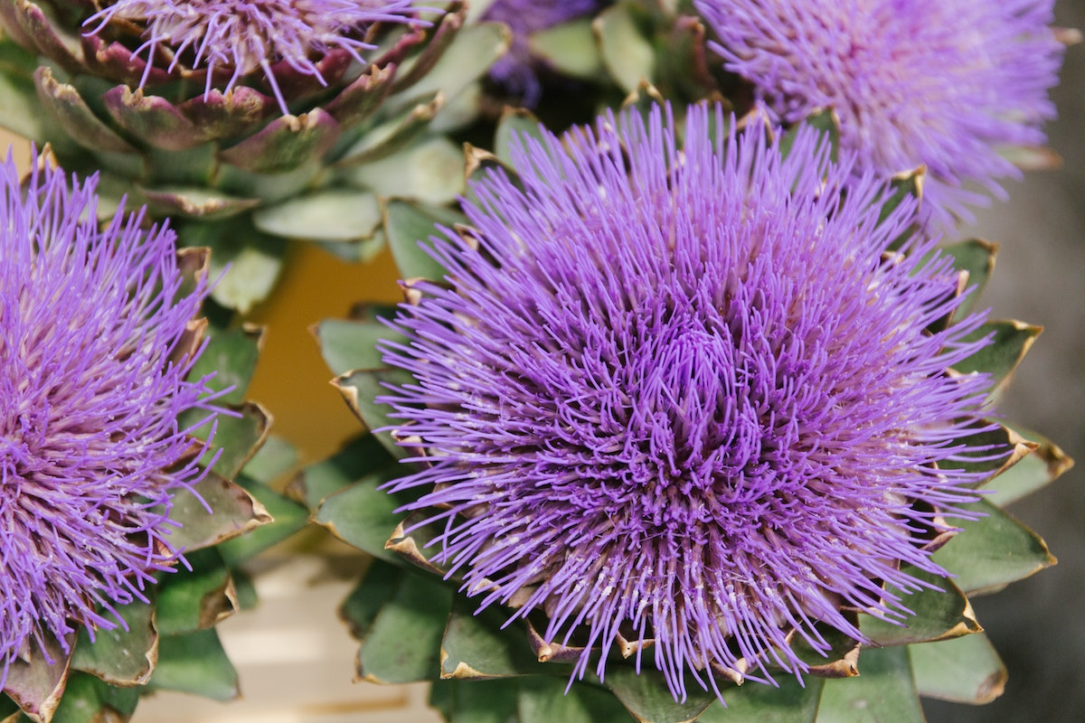 New Covent Garden Flower Market July 2018 A Florists Guide To Ultra Violet Pantone Colour Of The Year 2018 Rona Wheeldon Flowerona Cynara Scolymus Globe Artichokes At Zest Flowers