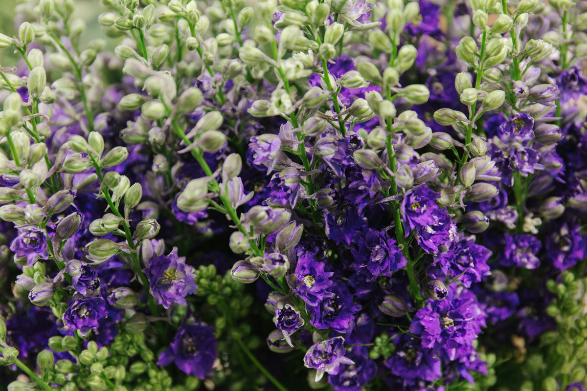 New Covent Garden Flower Market July 2018 A Florists Guide To Ultra Violet Pantone Colour Of The Year 2018 Rona Wheeldon Flowerona Larkspur At Dennis Edwards Flowers