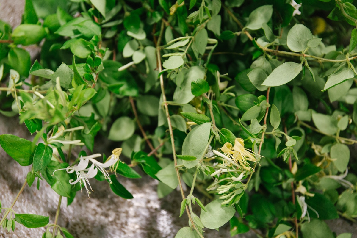 New Covent Garden Flower Market July 2018 In Season Report Rona Wheeldon Flowerona British Honeysuckle At Gb Foliage