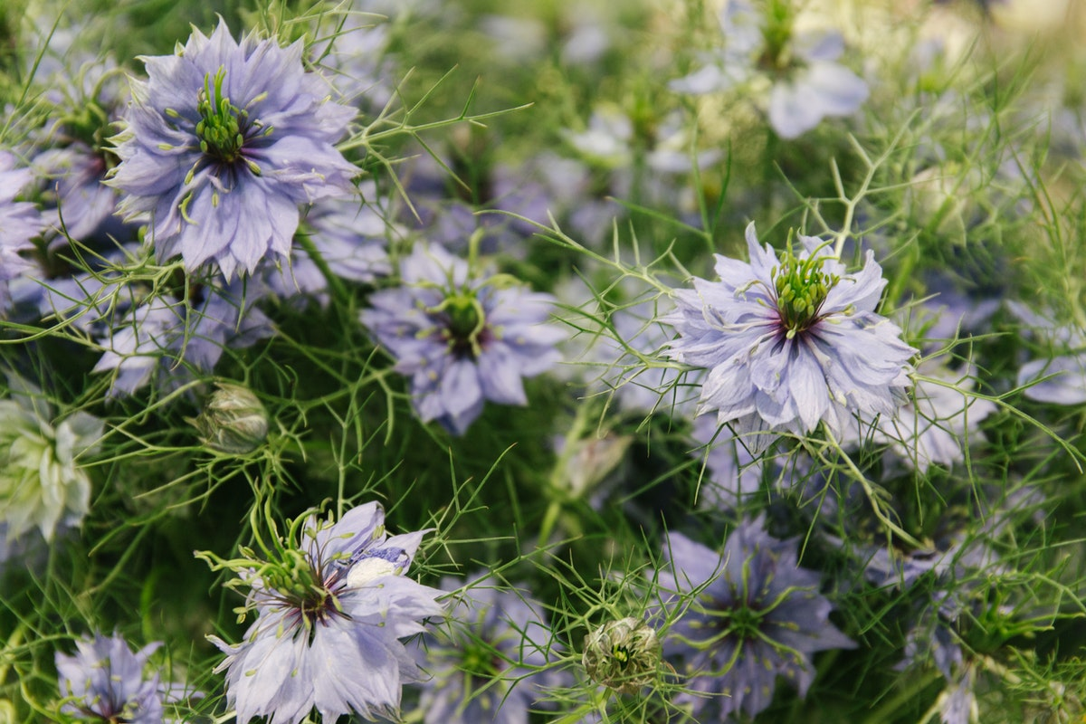 New Covent Garden Flower Market July 2018 In Season Report Rona Wheeldon Flowerona British Nigella Damascena At Zest Flowers